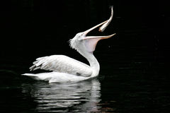 The pelican swallows a fish