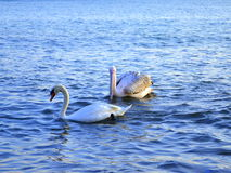 Pelican and swan swimming Stock Images