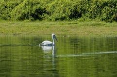 Pelican swim in Kerkini lake Stock Photos