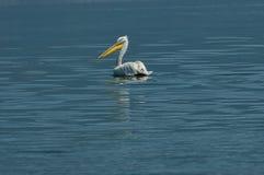 Pelican swim in Kerkini lake Royalty Free Stock Images
