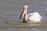 Pelican. Swim White River Africa Royalty Free Stock Photography