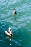 Pelican swiming Stock Photos