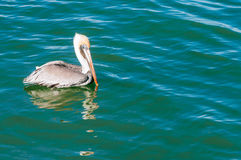 Pelican swiming Royalty Free Stock Photography