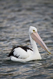 Pelican Swimming royalty free stock photos