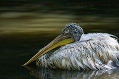 Pelican swimming Stock Image