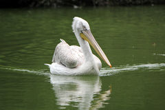 Pelican swimming Stock Photos