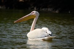 Pelican swimming on african lake Stock Images
