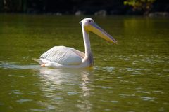 Pelican swimming on african lake Royalty Free Stock Photos