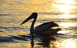 Pelican Swimming stock images
