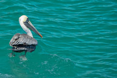 Pelican while swimming in cortez sea Stock Photography