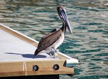 Pelican Swimming Floating Over The Water In Ocean Tropical Paradise In Los Cabos Mexico