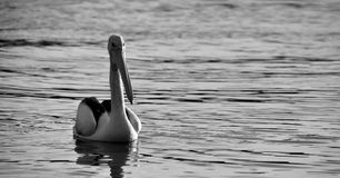 Pelican Swimming. A grayscale image of a pelican swimming Royalty Free Stock Photography