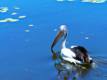 Pelican swimming on lake. A pelican glides along the water in search of food Royalty Free Stock Photography