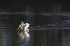 Pelican Swimming on Lake. Pelican meandering along water in lake Stock Photo