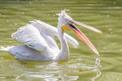 Pelican Swimming On Lake Stock Image
