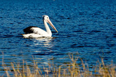 Pelican swimming on lake. At waters edge Royalty Free Stock Images