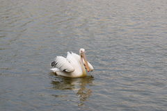 Pelican swimming in a lake. White pelican swimming in a lake Stock Images