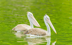 The Pelican swimming. In the pond Stock Photo