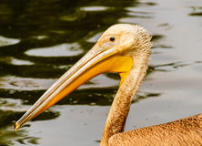 Pelican. A pelican swimming in a pond in the rain stock photo