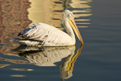 Pelican swimming with reflection on blue sea, closeup. Royalty Free Stock Photo