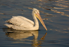 Pelican swimming on the sea. Stock Photos