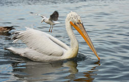 Pelican swimming on the sea. A seagull flying behind the pelican. Royalty Free Stock Photos
