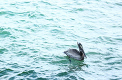 Pelican Swimming. A pelican swims looking for fish off the coast of Florida stock images