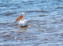 Pelican Swimming Royalty Free Stock Photo