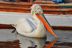 Pelican swimming on water Royalty Free Stock Photo