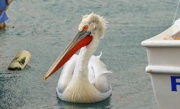 Pelican swimming on water Royalty Free Stock Images
