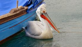 Pelican swimming on water Royalty Free Stock Image