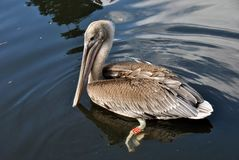 Pelican swimming in the water stock image