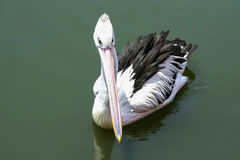 Pelican swims in the lake. Beautiful wild bird in the wild Royalty Free Stock Images