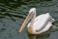 Pelican swims stock photos