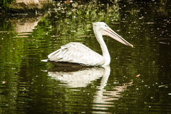 A pelican swims Royalty Free Stock Photo