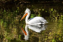 Pelican swims in the pond stock photo
