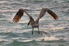 Pelican swoop on water. To feed Stock Photography