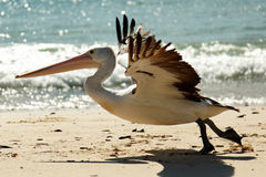 Pelican Take Off. Pelican - South of Brisbane - East Coast of Australia royalty free stock image