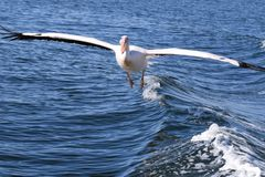 Pelican take off on the atlantic ocean royalty free stock photography