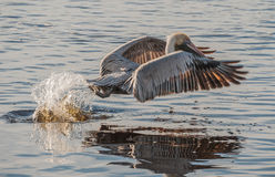 Pelican Takeoff Stock Images
