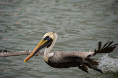 Pelican at takeoff. In flight in Palacios, Texas Stock Photos