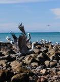 Pelican Takeoff Stock Photo