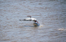 Pelican Takes Flight Stock Photography