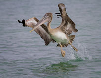 Pelican Taking Flight Royalty Free Stock Images