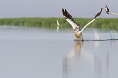 Pelican taking flight from water Royalty Free Stock Photos