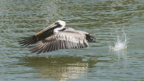 Pelican taking off royalty free stock photography