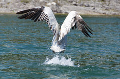 Pelican taking off Royalty Free Stock Image