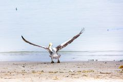 Pelican Taking Off on Ballestas Islands in Paracas. Peru. South America. Stock Photo