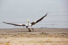 Pelican Taking Off on Ballestas Islands in Paracas. Peru. South America. Royalty Free Stock Image