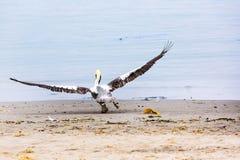 Pelican Taking Off on Ballestas Islands in Paracas. Peru. South America. Royalty Free Stock Image